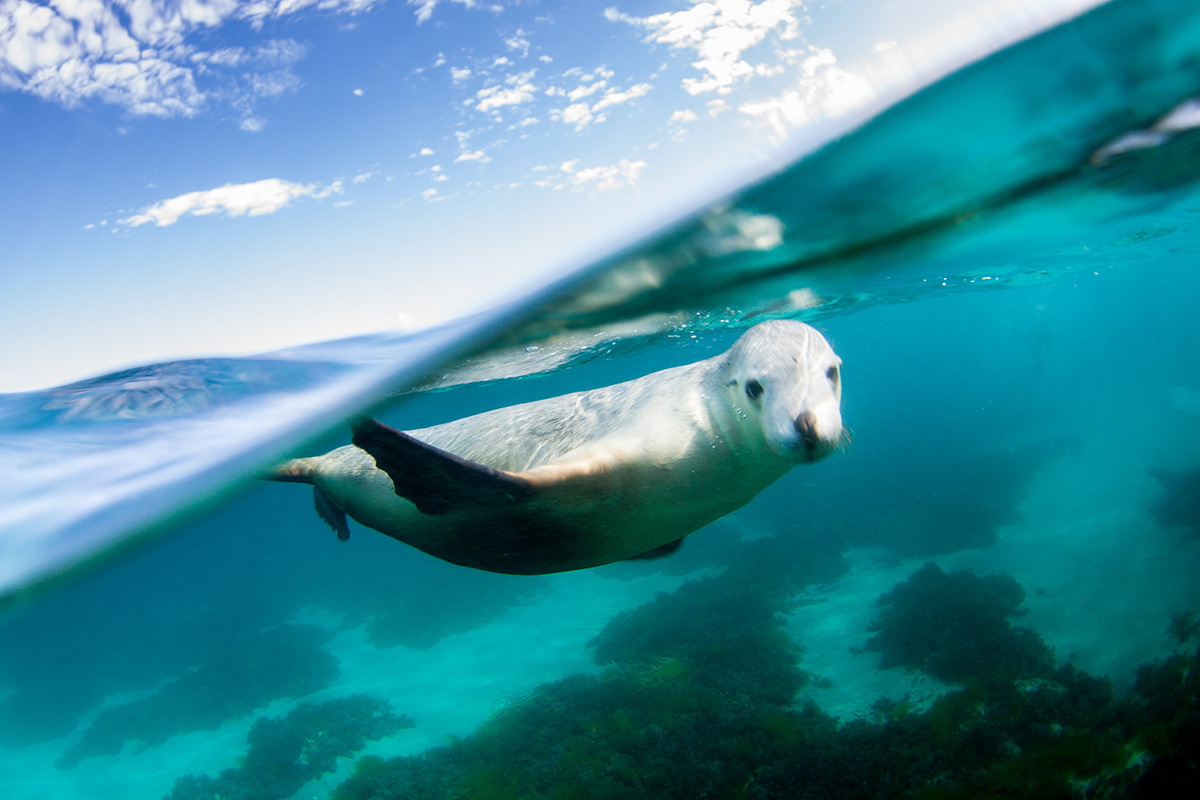 Adventure-Bay-Charters-swimming-with-sealions-03-web