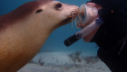 Adventure-Bay-Charters-swimming-with-sealions-04-web