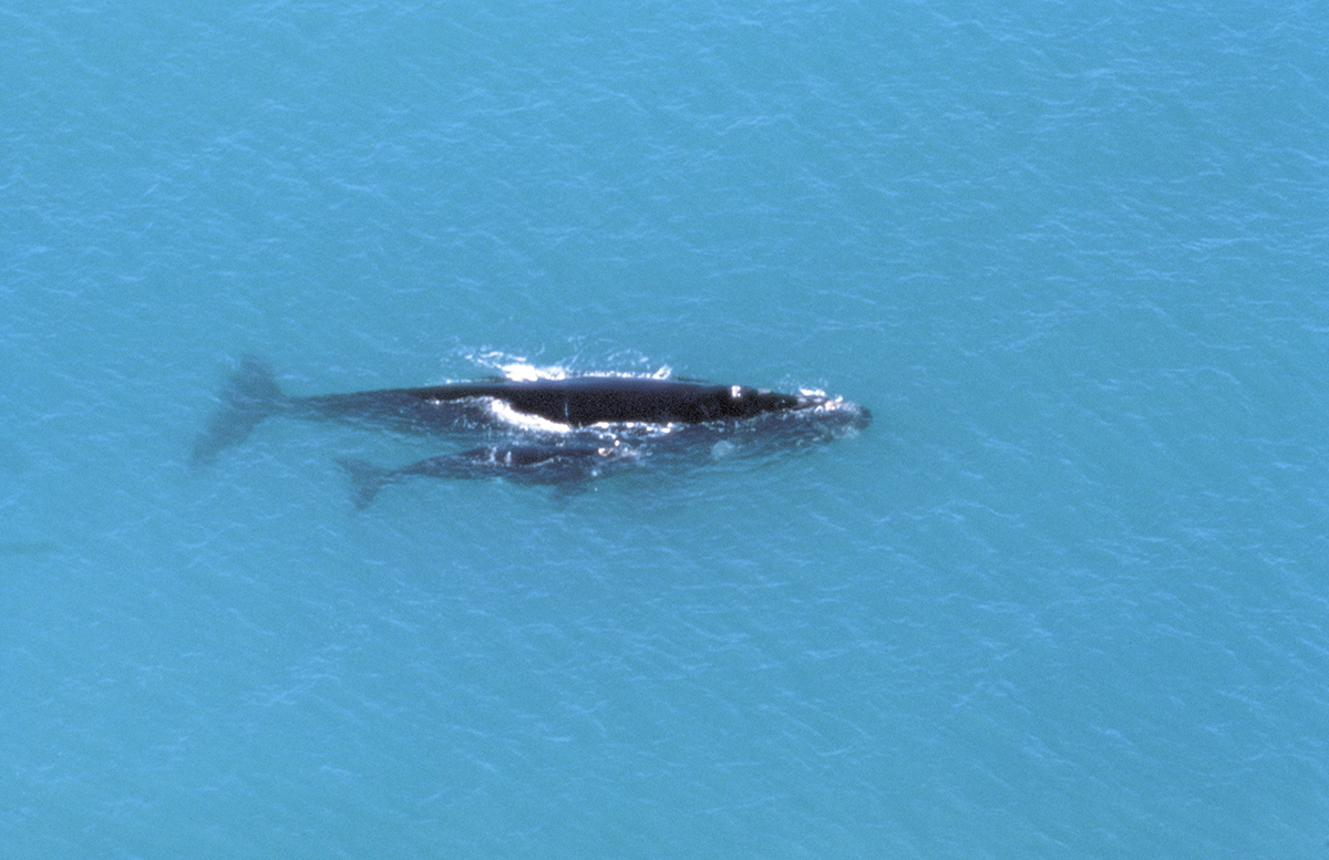 eyre-peninsula-whale-watching
