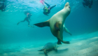 Adventure-Bay-Charters-swimming-with-sealions-01-web